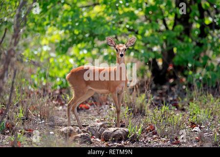 Steenbok, adult female, Kruger Nationalpark, South Africa, Africa, (Raphicerus campestris) - Stock Photo