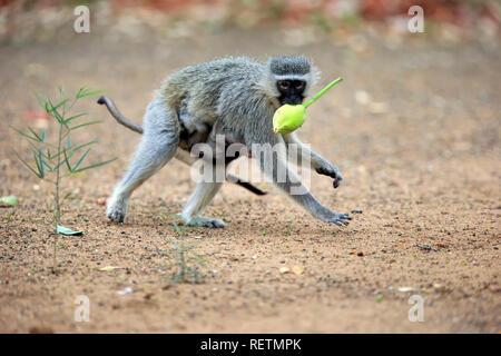 Vervet monkey, adult female with young, Kruger Nationalpark, South Africa, Africa, (Chlorocebus pygerythrus) - Stock Photo