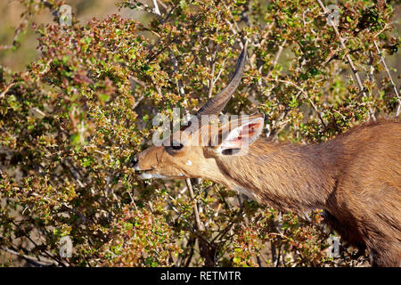 Bushbuck, Imbabala, adult male, Kruger Nationalpark, South Africa, Africa, (Tragelaphus sylvaticus) - Stock Photo