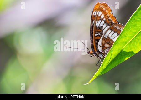 Lorquin's admiral (Limenitis lorquini) butterfly sitting with its wings closed on a green leaf, south San Francisco bay area, California; blurred back - Stock Photo
