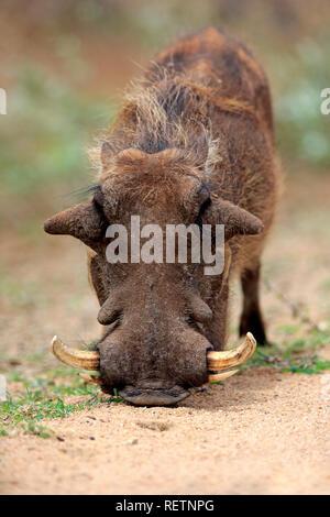Warthog, Kruger Nationalpark, South Africa, Africa, (Phacochoerus aethiopicus) - Stock Photo