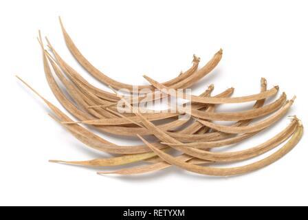 Mature fenugreek sprouts (Trigonella foenum-graecum), medicinal plant - Stock Photo