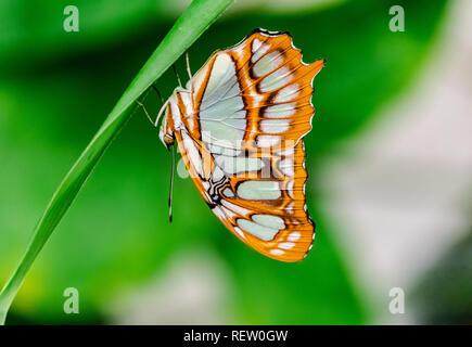 Malachite butterfly (Siproeta stelenes) resting upside down in a green stem - Stock Photo