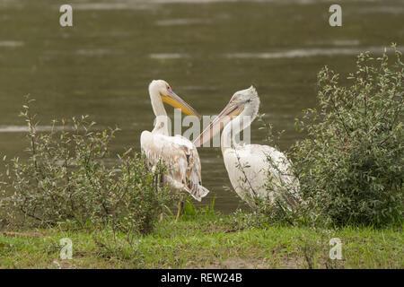 Great white pelican (Pelecanus onocrotalus) and Dalmatian pelican (Pelecanus crispus). Lake Kerkini. Greece - Stock Photo