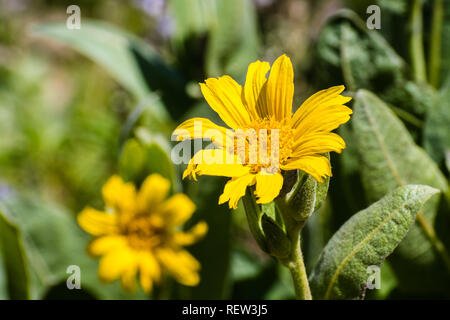 Narrowleaf Mule-Ears (Wyethia angustifolia) wildflowers blooming in Lassen Volcanic National Park, Siskiyou County, Northern California - Stock Photo