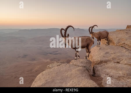 Two ibexes on the cliff at Ramon Crater in Negev Desert in Mitzpe Ramon, Israel - Stock Photo