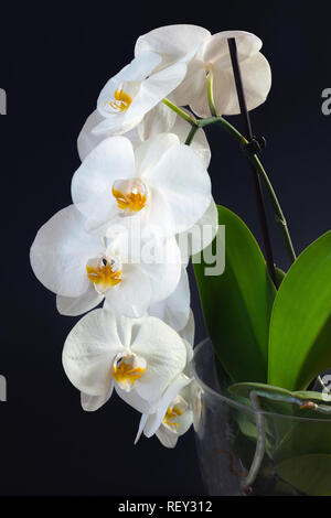 Beautiful white orchid flowers with plant base on a black background - Stock Photo