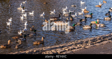 Ducks and gulls on the water in the lake at Ropner Park, Stockton on Tees, England, UK - Stock Photo