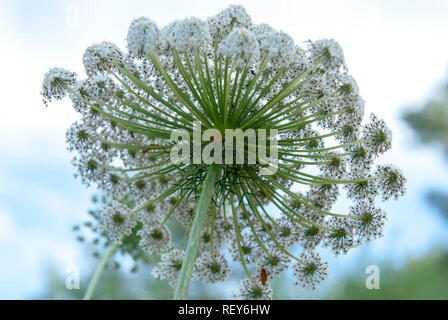 Daucus carota (common names include wild carrot, bird's nest, bishop's lace, and Queen Anne's lace). Photographed in May in the Jerusalem region, Isra - Stock Photo
