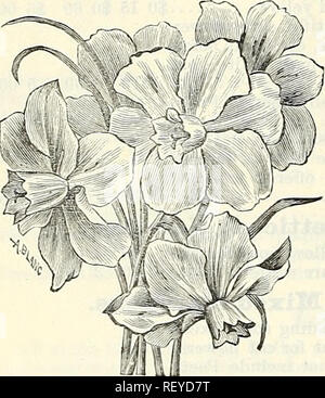 . Dreer's summer edition wholesale price list July 1899 August : seasonable flower and vegetable seeds, fertilizers, tools, etc., etc. Bulbs (Plants) Catalogs; Flowers Seeds Catalogs; Vegetables Seeds Catalogs; Nurseries (Horticulture) Catalogs. 15 00 15 00 Narcissus, Paper White Grandifloea. Chinese Sacred Lily or Narcissus.—(Ready in October.) We receive annually a direct importation of the liuest bulbs procarable. Although for the most part sold to retail buyers for growing in water, they do even better in pots in moss or soil, and every florist should have a few for store sale. 75 cents pe - Stock Photo