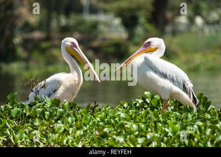 A pair of great white pelicans (Pelecanus onocrotalus) standing on water hyacinth, Lake Naivasha, Kenya