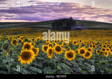 A sunflower field in the Palouse. While a rare sight, it is become more common. - Stock Photo