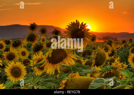 A sunflower field in Deer Park Washington seems to take on a human personality grasping for the last light of the day. - Stock Photo