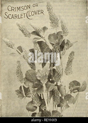 . Dreer's mid-summer list 1925. Flowers Seeds Catalogs; Vegetables Seeds Catalogs; Nurseries (Horticulture) Catalogs; Gardening Equipment and supplies Catalogs. VETCH Winter Vetcnes, or Tares. Also called Sand Vetch, or Hairy Vetch. Recommended for fall sowing with rye, which serves as a support. It is perfectly hardy in all parts of the country, and maturing fully four weeks earlier than Scarlet Clover, it can be harvested or plowed under and the ground used for the usual spring crops. It is the best green-manure crop that can be grown. Lb., 40 cts., postpaid. By express or freight, peck, $2. - Stock Photo