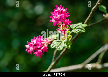 Redflower currant (Ribes sanguineum) blooming - Stock Photo