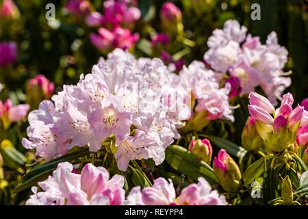 Royal azalea (Rhododendron schlippenbachii) blooming - Stock Photo