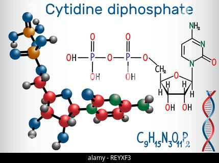 Cytidine diphosphate (CDP) molecule, it is nucleoside molecule. Structural chemical formula and molecule model. Vector illustration - Stock Photo