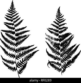 Collection of vector black silhouettes of fern. Isolated on white background. Design objects for decoration, textile, poster, card, invitation, announ - Stock Photo