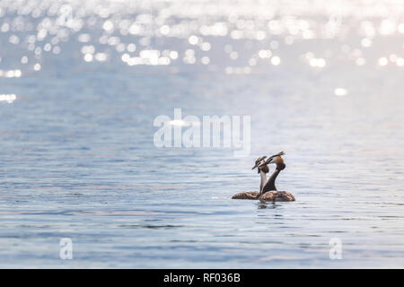 Two grebes (podiceps cristatus) are swimming on a lake while enjoying the late afternoon sun. - Stock Photo