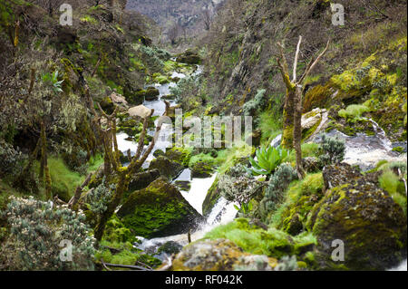 On Day 3 of the Kilembe Route through Rwenzori National Park, Uganda, hikers pass though the Afro alpine vegetation zone on a boggy trail - Stock Photo
