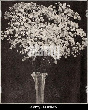 . Dreer's midsummer list 1929. Flowers Seeds Catalogs; Fruit Seeds Catalogs; Vegetables Seeds Catalogs; Nurseries (Horticulture) Catalogs; Gardening Equipment and supplies Catalogs. Double-flowering Gypsophila Gaill.rdl Gr-i^ndiflora GeUm (Avens) PER PKT. 2541 Atrosanguineum Fl. PI. Beautiful hardy peren- nial, bearing profusely large, showy double dark- crimson flowers all through the summer; an elegant flower for bouquets;'18 inches, j oz., 50 cts SO 10 2542 Mrs. Bradshaw. Large double brilliant orange scarlet; in flower throughout the entire summer 15 2543 Lady Stratheden. New double-flow - Stock Photo