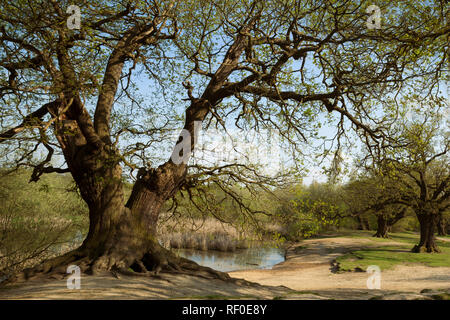 Ancient Mighty Oak Tree with Exposed Tangled Roots Next to Pond - Spring- Epping Forest Background, Loughton , London - Stock Photo