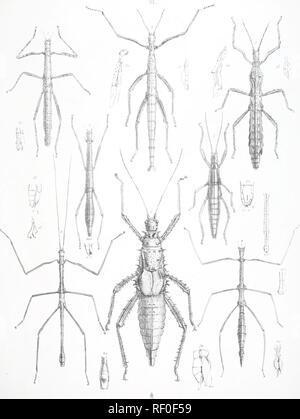 Catalogue Of Orthopterous Insects In The Collection Of The British