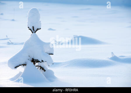 Small solitary spruce tree (Picea abies) covered with snow - Stock Photo