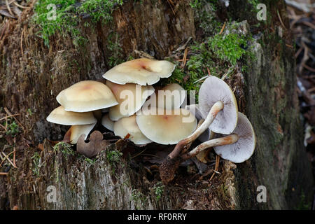 Conifer tuft mushroom, Hypholoma capnoides, an edible wild mushroom from Finland - Stock Photo