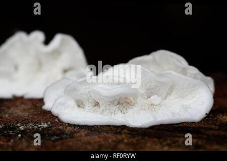 White soft texture of a fungus called Plicatura nivea - Stock Photo