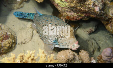 Blue spotted clown nose box fish resting at the reef in the Red Sea, Egypt - Stock Photo