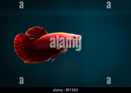 Betta red fish,siamese fighting fish,isolated on blue background. - Stock Photo