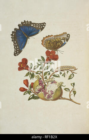 From Metamorphosis insectorum Surinamensium (Insects of Suriname), Dutch edition. Butterfly: Morpho menelaus (Linnaeus), female, named Papilio nestor by Linnaeus. Morphidae. - Stock Photo