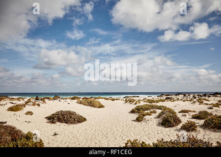Tussocks of coastal vegetation on a sandy beach in Lanzerote, Canary Islands with a distant view of the ocean under a cloudy blue sky - Stock Photo