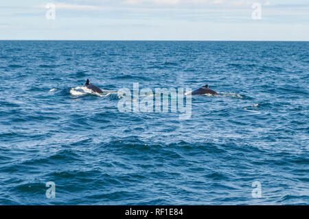 A family of humpback whales is looking for plancton while swimming in the Atlantic ocean. Whale watching in Boston harbor in Massachusetts, USA - Stock Photo