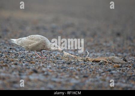 Glaucous Gull (Larus hyperboreus) - Stock Photo