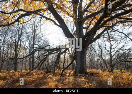 Autumnal English oak (Quercus robur) and Bracken (Pteridium aquilinum) discoloured in backlight, Sababurg Jungle, Reinhardswald - Stock Photo