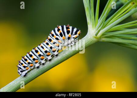 Swallowtail caterpillar (Papilio machaon) to Dill (Anethum graveolens), Hesse, Germany - Stock Photo