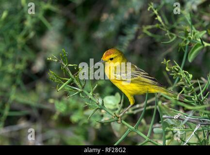 Gold Warbler (Setophaga petechia aureola), Male, Floreana Island, Galapagos Islands, Ecuador - Stock Photo