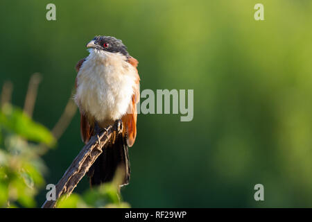Burchell's Coucal, Centropus burchelli, has bubbling call, frequently herd in the bush around Kruger National Park, Limpopo Province, South Africa. - Stock Photo