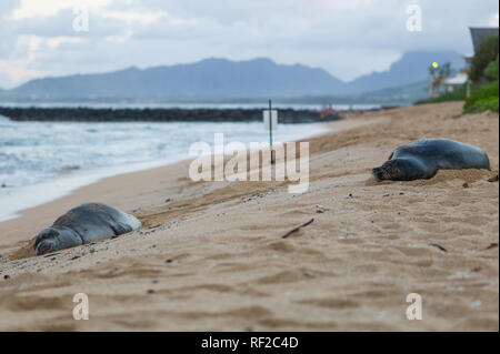 Hawaiian Monk Seals, Neomonachus schauinslandi, are endangered with just 1400 individuals in the wild. They frequently haul out on Kauai's beaches. - Stock Photo