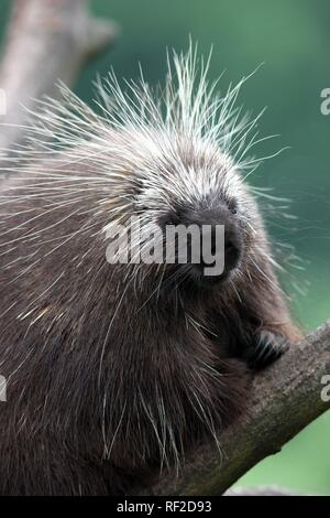 North American Porcupine, Canadian Porcupine (Erethizon dorsatum), in the Zoom Erlebniswelt, zoo in Gelsenkirchen - Stock Photo