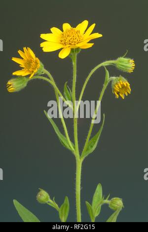 Leopard's Bane, Wolf's Bane or Mountain Arnica (Arnica montana), medicinal herb - Stock Photo
