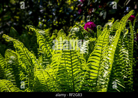 Ferns in the forest, Latvia. Beautyful ferns leaves green foliage. Close up of beautiful growing ferns in the forest. Natural floral fern background i - Stock Photo