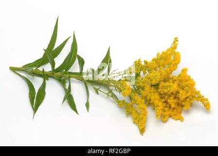 Canada goldenrod (Solidago canadensis), medicinal plant - Stock Photo