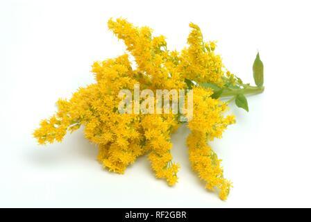 Canada goldenrod (Solidago canadensis), medicinal plant - Stock Photo