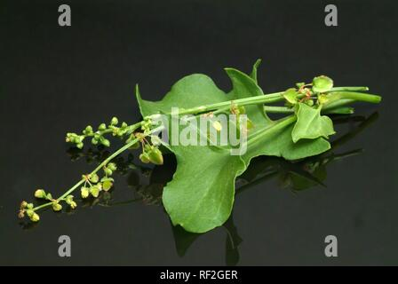 French Sorrel or Leaf-shield Sorrel (Rumex scutatus), used in salad, as a spice and medicinal herb - Stock Photo