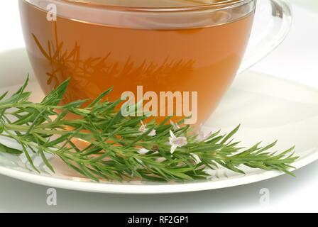Summer Savory (Satureja hortensis), herbal tea - Stock Photo