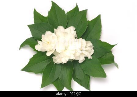 Yellow Jessamine, Carolina Jasmine or Evening Trumpetflower (Gelsemium sempervirens), medicinal plant - Stock Photo