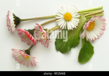 Common Daisy, Lawn Daisy or English Daisy (Bellis perennis), medicinal plant - Stock Photo